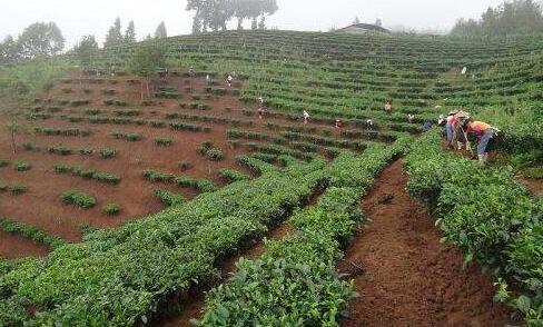 云南省规划设计院就茶叶产业发展情况进行专题调研