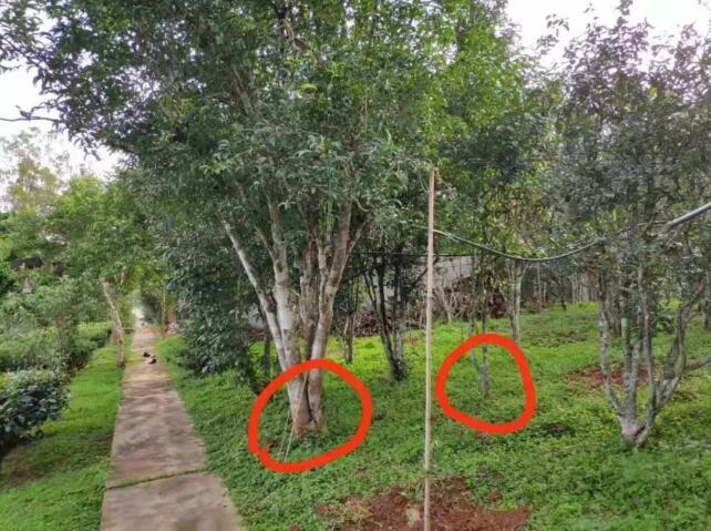 什么样的茶树算大树?什么样的茶树又算古树?