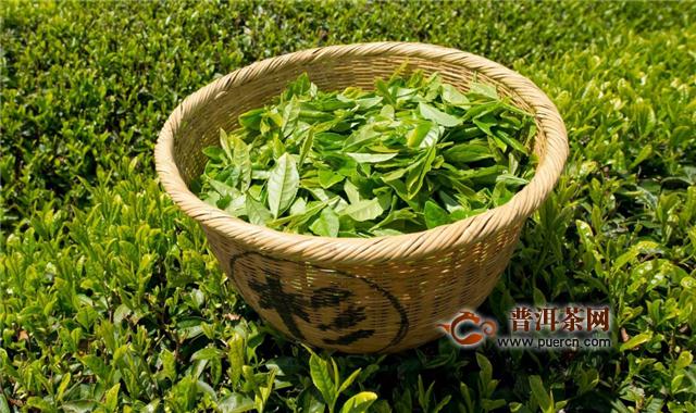 藏茶和绿茶有什么关系