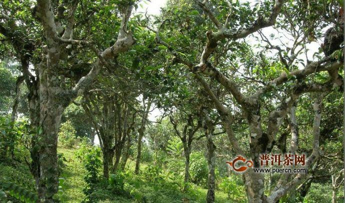 莽枝古树茶历史文化