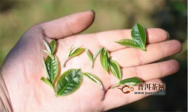 倚邦小叶种普洱茶有什么特点