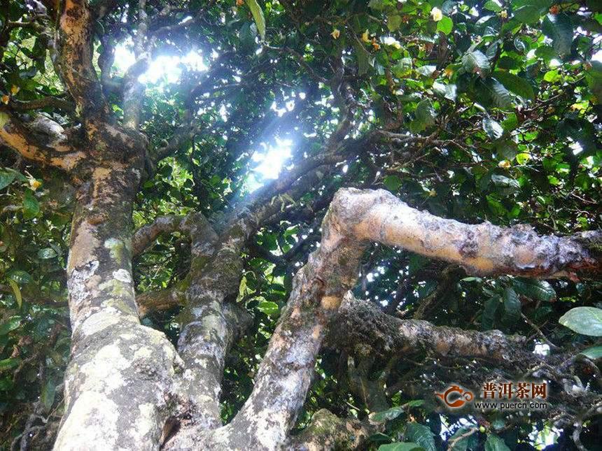 倚邦曼拱古树茶特点