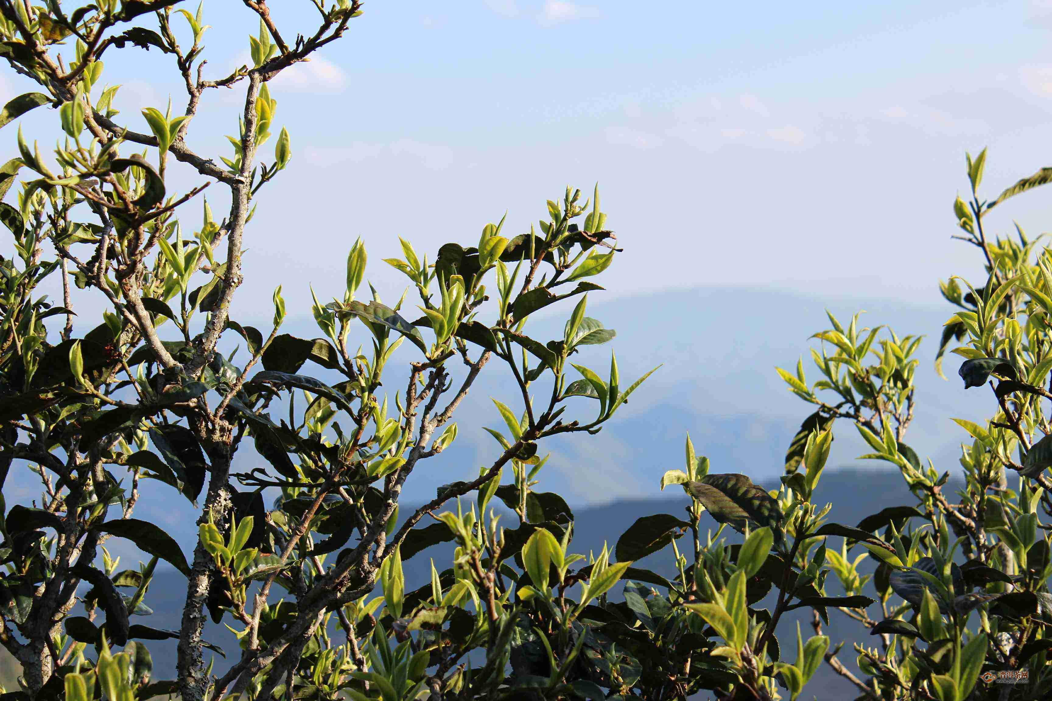 倚邦大黑树林普洱茶产地在哪里