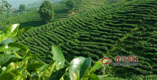 龙井茶和碧螺春的茶树品种