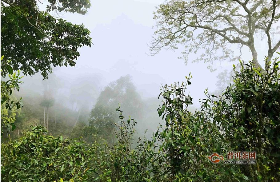 帕沙古树茶属于哪里