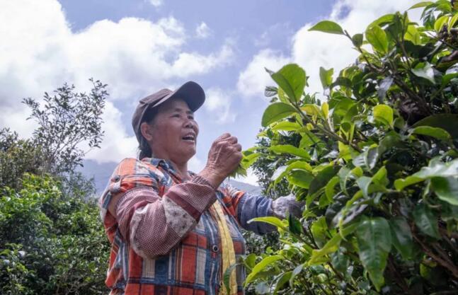 宁洱县困鹿山小乔木茶树开采第一次秋茶