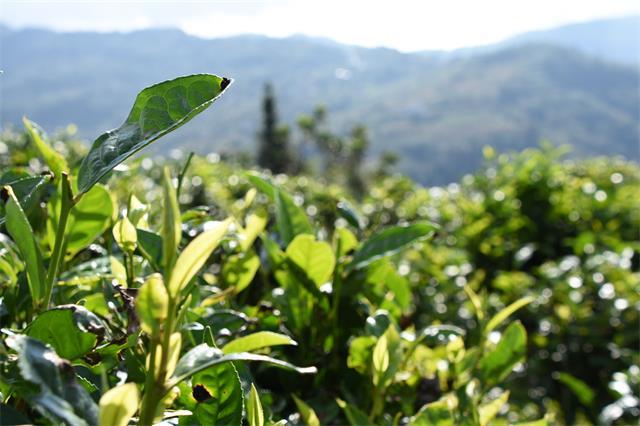 2022年云南茶园全部实现绿色化