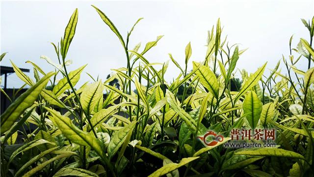安溪白茶是绿茶吗