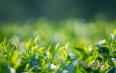 明前绿茶多少钱一斤?明前绿茶——绿茶中的特殊存在!