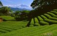 哪些绿茶有消炎的功效?绿茶的功效有哪些?
