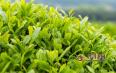 安溪白茶是什么茶