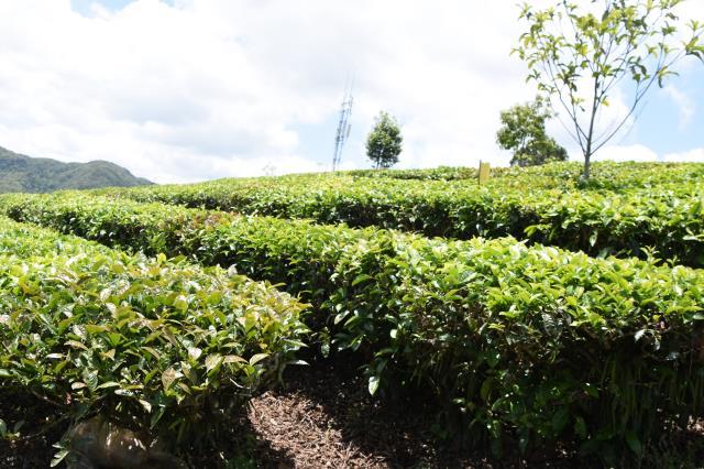 普洱市思茅区:有机茶成新名片