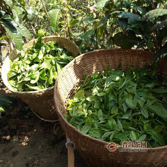 勐库豆腐寨普洱茶