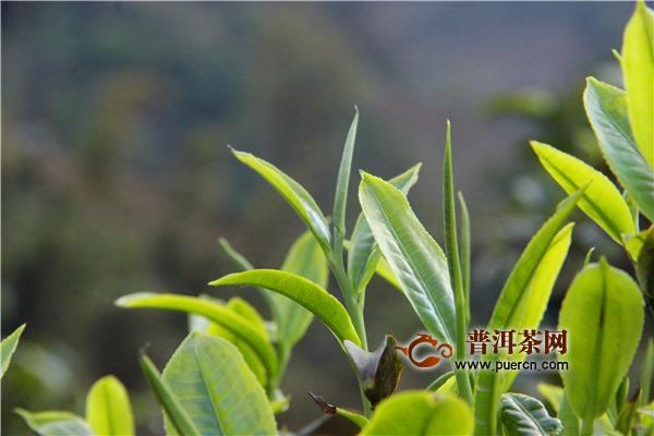 昔归古树茶属于哪个产区的