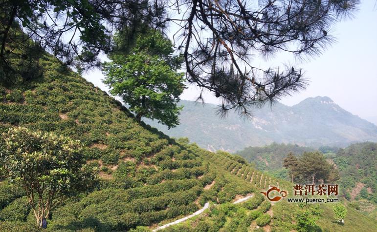 祁门红茶和正山小种