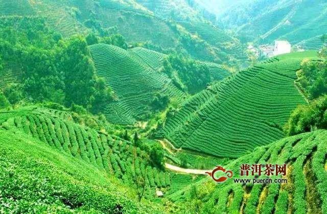 凤凰单枞茶的起源,距今已有三百多年!