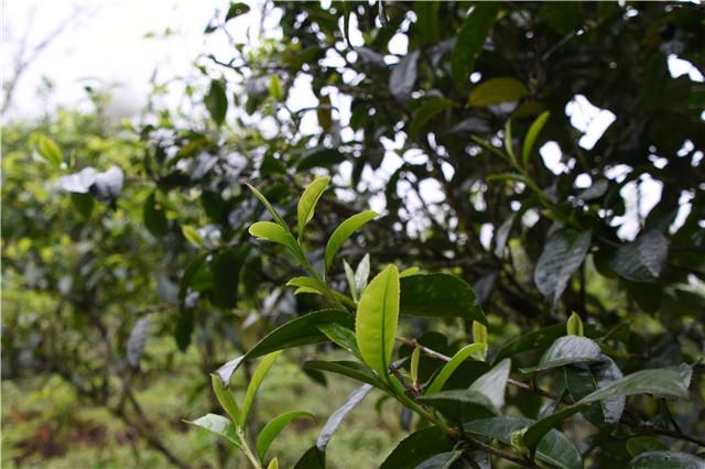 全国名优茶质量竞赛 中国茶艺发展 1201岩韵价格