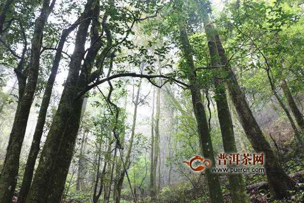 章朗老寨古茶历史