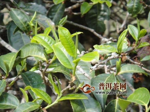 茶叶香味怎么来的?茶叶都有哪些香型?