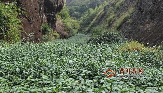 武夷巖茶正巖半巖洲茶,產地情況有何差異?
