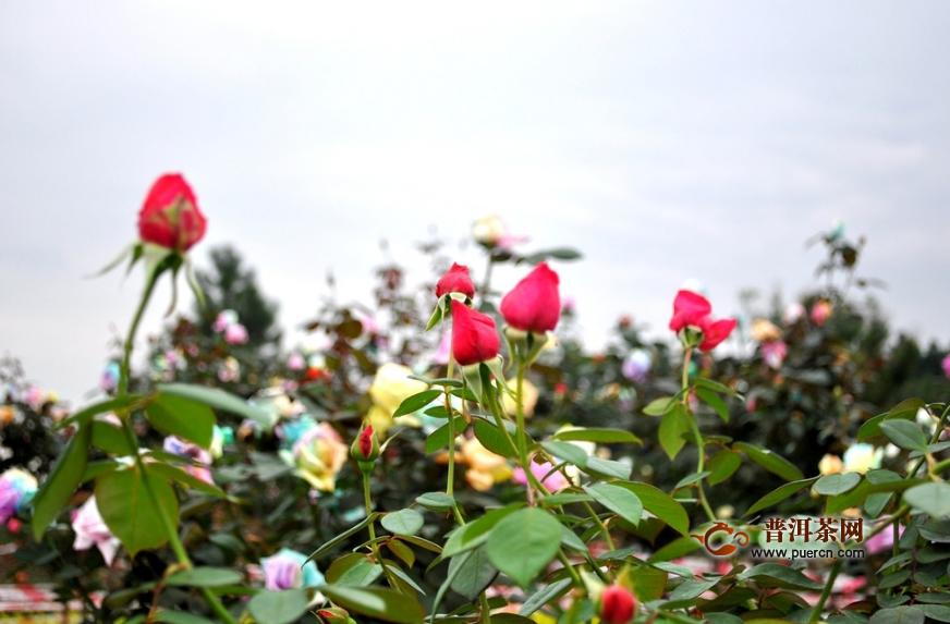 菊花和玫瑰花茶能减肥吗?菊花玫瑰花茶的功效