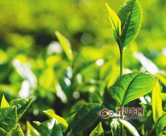 饮料绿茶对身体好吗?喝绿茶饮料的好处、危害