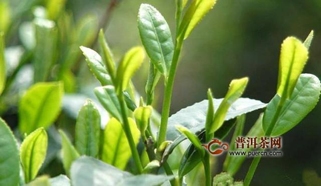 东白春芽属于什么茶