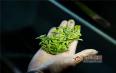 每天喝绿茶减肥吗?绿茶减肥黄金搭配!