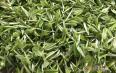 祁门红茶产自哪里?祁门红茶——极具地域特征的茶叶!