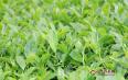 乌龙茶与武夷岩茶区别,乌龙茶的功效