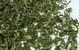 绿茶有哪些药用价值?绿茶的营养成分