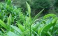 绿茶有什么功效与作用?绿茶的营养成分