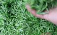 长长的绿茶是什么茶?绿茶的各大形状!