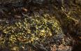 什么是黑茶的金花?星星点点的金黄色颗粒