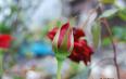 玫瑰花茶一般价格多少?玫瑰花茶的选购技巧