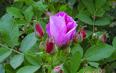 玫瑰花茶的副作用是什么?喝玫瑰花茶禁忌人群