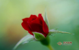 玫瑰花茶泡水多少度?玫瑰花茶的喝法