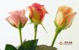玫瑰花茶辨别好坏,优质玫瑰花茶的特征