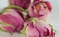 玫瑰花茶可以和什么搭配?玫瑰花茶冲泡方法