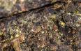 黑茶的金花怎么形成的?金花的形成条件!