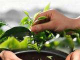 龙井属于红茶还是绿茶?从加工工艺上看是绿茶