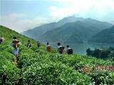 安化黑茶的功效和产地,好产地铸就了黑茶好品质!