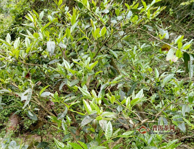 华莱安化黑茶价格多少?华莱健黑茶的品质特征