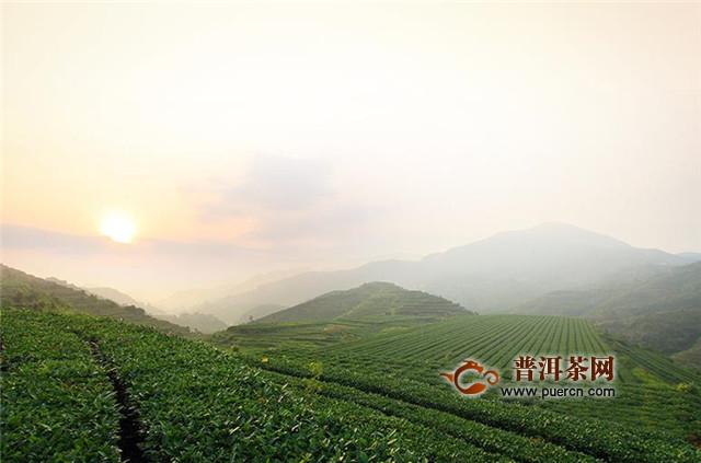 福鼎白茶的品种分类