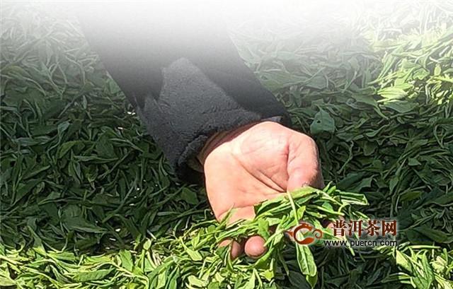 """福鼎白茶的树种是什么树种?""""华茶1号""""和""""华茶2号""""最著名"""
