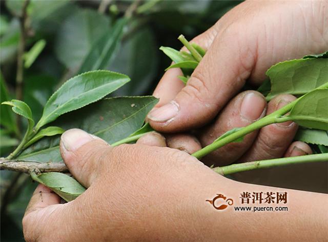 武夷山岩茶是红茶吗