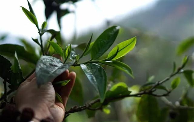 2019茶行业发展现状 铁观音制茶大师百万研究经费 普洱茶品控