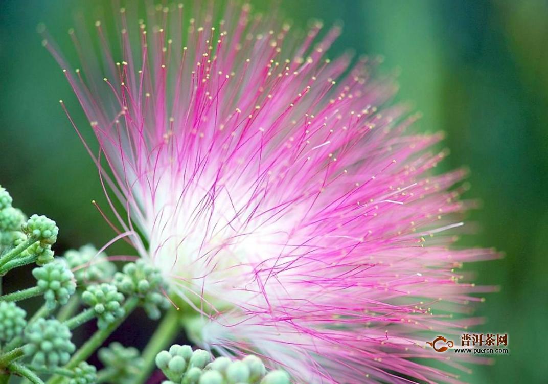 合欢花怎么治失眠?中药合欢花的功效