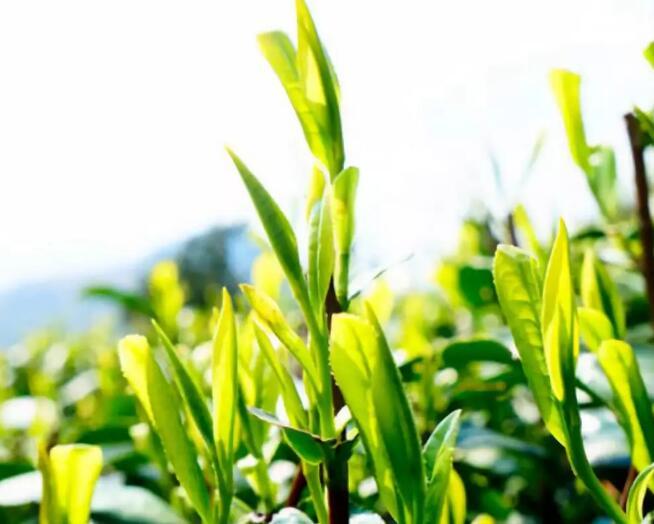 茶叶标准化系列报道之①中国茶叶标准化工作概述(上)