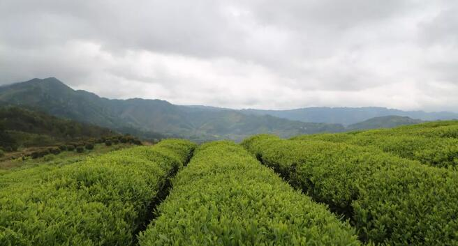 茶叶标准化系列报道之③中国茶叶标准化工作概述(下)
